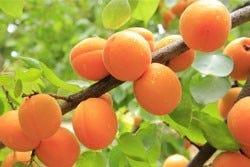 Abrikozen aan een boom