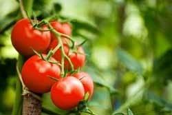 Zongerijpte tomaten